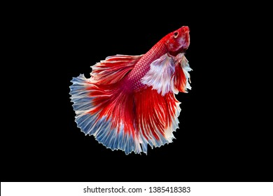 The moving moment beautiful of red half moon siamese betta fish or dumbo betta splendens fighting fish in thailand on black background. Thailand called Pla-kad or big ear fish.