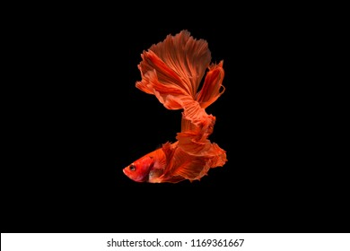 The moving moment beautiful of red siamese betta fighting fish in thailand on black background.