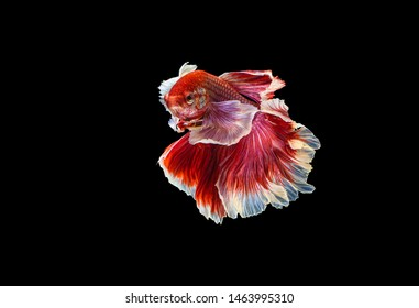The moving moment beautiful of red siamese betta fish or dumbo splendens fighting fish in thailand on black background. Thailand called Pla-kad or big ear fish.
