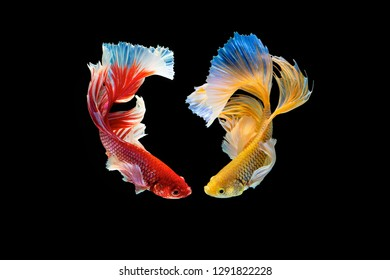The moving moment beautiful of red and yellow siamese betta fish or half moon betta splendens fighting fish in thailand on black background. Thailand called Pla-kad or dumbo big ear fish.
