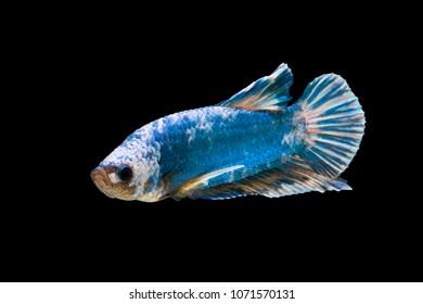 Paratheraps Zonatus Vieja Zonatus Stock Photo Edit Now 1272519502