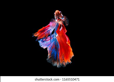 The moving moment beautiful of siamese betta fish in thailand on black background.