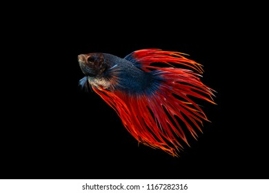 The moving moment beautiful of siamese betta fighting fish or crown tail in thailand on black background.