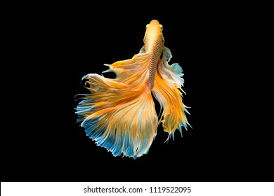 The moving moment beautiful of yellow half moon siamese betta fish or dumbo betta splendens fighting fish in thailand on black background. Thailand called Pla-kad or big ear fish.