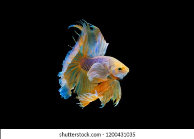 The moving moment beautiful of yellow siamese betta fish or half moon betta splendens fighting fish in thailand on black background. Thailand called Pla-kad or dumbo big ear fish.