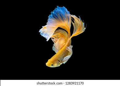 The moving moment beautiful of yellow siamese betta fish or half moon splendens fighting fish in thailand on black background. Thailand called Pla-kad or dumbo big ear fish.