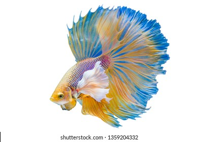 The moving moment of Betta Siamese fighting fish, Betta splendens Pla-kad ( biting fish ) Thai, popular aquarium fish. Big ears dumbo Golden yellow half moon long tail Betta Fighting isolated on White