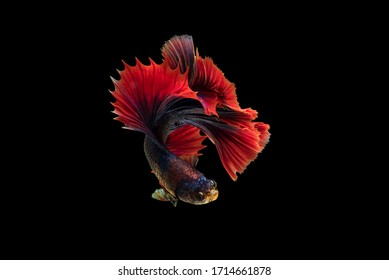 The moving moment colorful Betta fish, Siamese fighting fish in isolated on black background.