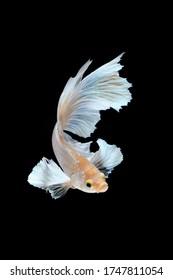 The moving moment of Dumbo-ear Betta fiish or Siamese fighting fish, Betta splendens, popular aquarium fish.
