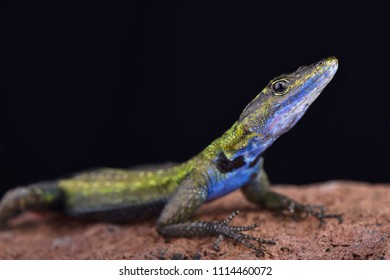 The Mozambique flat lizard (Platysaurus intermedius nyasae) is found in Malawi and central Mozambique.