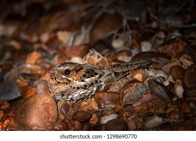 Mozambique Nightjar, Caprimulgus fossii, sitting on the road, Kruger NP, South Africa. Night bird hidden in the brown leaves on the ground. Wildlife scene from the nature. Travelling in Africa.