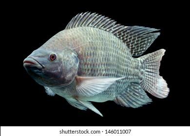 Mozambique Tilapia Oreochromis Mossambicus Isolated On Black Studio Aquarium Shot