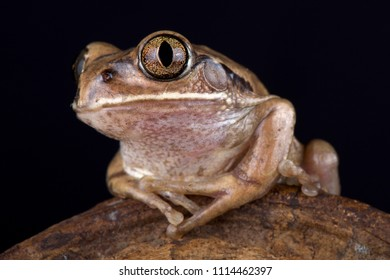 The Mozambique tree frog (Leptopelis mossambicus) is a large tree frog species found in Southern Africa.