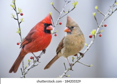 Mr. and Mrs. Cardinal on Berry Branches