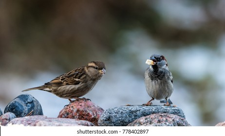 Mr and Mrs House Sparrow on the rocks with a nice bokeh in the background