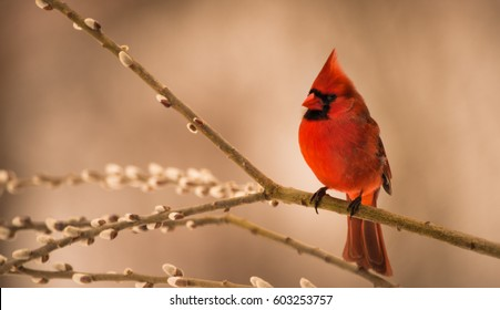 Mr. Red.  A male Northern Red Cardinal perched on a beautiful Spring day.