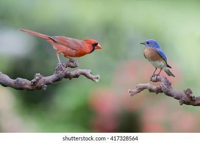 Mr. Redbird Meets Mr. Bluebird