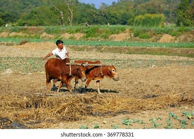 MRAUK U, MYANMAR - JAN 17:Unidentified people working farmer with cow plough his farm land in northern Rakhine State on January 17, 2016 in Mrauk U, Myanmar.