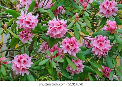 """""""Mrs G.W. Leak"""" Speckled Throat (Rhododendron) - Ericaceae"""