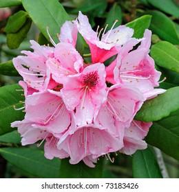 """Mrs G.W. Leak"" Speckled Throat (Rhododendron) Flower - Ericaceae"