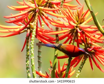 Mrs Gould's Sunbird has rainbow-like feathers.It competes with other sunbirds for nectar-their main food source.Male sunbirds usually possess colourful plumage in order to attract female.