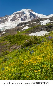Mt. Baker Wildflowers. The wildflowers are in full bloom during the month of August. Lupine, yellow asters, and indian paintbrush are predominant in this area. Mt. Baker/Snoqualmie National Forest.