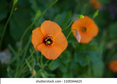 Mt. Diablo Orange Flowers