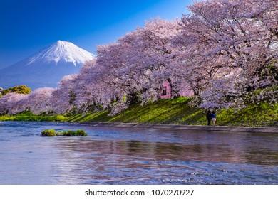 MT Fuji and Cherry Blossom Tree