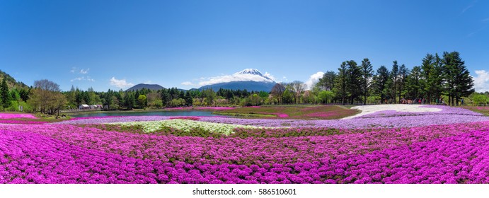 Mt. Fuji and colorful pink moss foreground at shibazakura festival with clear blue sky panorama picture scale