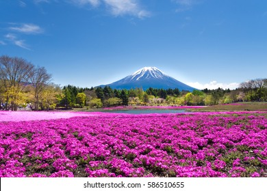 Mt. Fuji and colorful pink moss foreground at shibazakura festival with clear blue sky