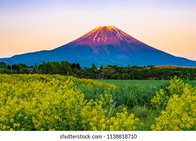 Mt. Fuji in Japan with yellow flowers at sunset time
