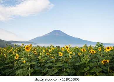 Mt. Fuji over Sunflowers in Bloom