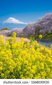 Mt Fuji and Rapeseed Flower