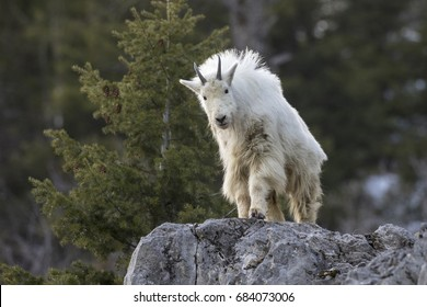 Mt. Goat on rock with green background