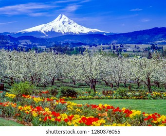 Mt Hood, pear blossoms and tulips near Parkdale, Oregon.