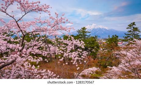 Mt. iwaki with Full bloom Sakura - Cherry Blossom  at Hirosaki park, Japan