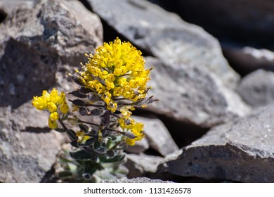 Mt. Lassen draba (Draba aureola) wildflowers blooming among rocks on the high elevation trails of Lassen Volcanic National Park, northern California