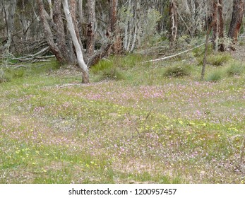Mt Trio Wildflowers Stirling Range N Pk