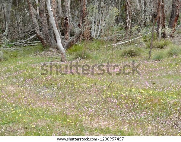 Mt Trio Wildflowers Stirling Range N Pk