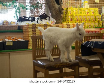MT. ZAO, MIYAGI/JAPAN - FEBRUARY/8/2018: Baby goat in a gift shop in the Miyagi Fox Village rescue center standing on a chair.