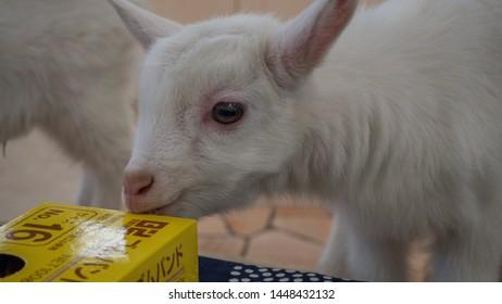 MT. ZAO, MIYAGI/JAPAN - FEBRUARY/8/2018: Baby goats in a gift shop in the Miyagi Fox Village rescue center. (1/2)