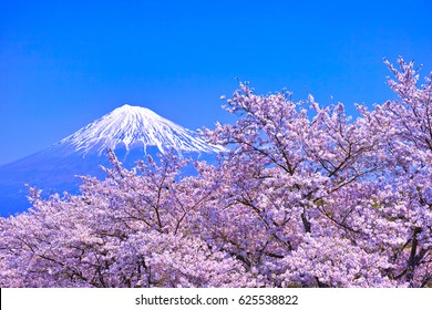 Mt.Fuji seen from Iwamoto mountain with full blooming cherry blossoms