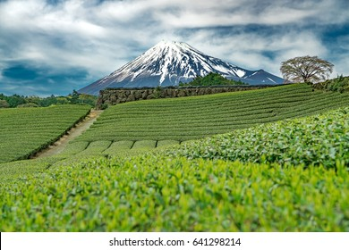 Mt.Fuji and Tea farm in spring at Shizuoka prefecture with cloudy sky,Mount Fuji Japan
