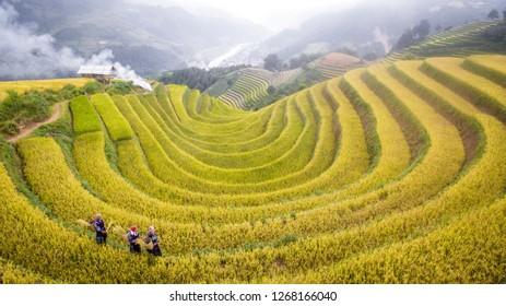 Mu Cang Chai.Yen Bai / Vietnam - 09162018: Farmer working on the rice terrace Vietnam
