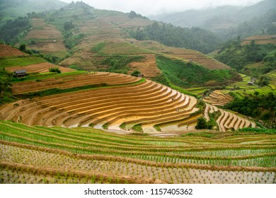 Mu Cang Chai - Vietnam - June 17, 2018: Rice terraces in water season in Vietnam. The terraces are farmed by Hmong and White Thai ethnic minorities. The Vietnamese farmers planting on the  paddy field