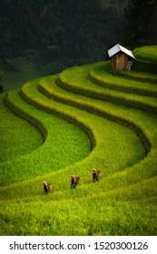 Mu cang chai/Vietnam - September 16 ,2019 : Woman Farmer walk from small white house on terrace rice field
