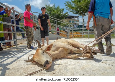 Muadzam Shah, Malaysia - September 1st, 2017 : Unidentified Malay Muslims help each other in halal slaughtering of a cow during Eid Al-Adha Al Mubarak, the Feast of Sacrifice or Qurban.