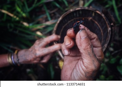 Muara Siberut, Mentawai Islands / Indonesia - Aug 15 2017: Tribal member collecting grubs and insects from a fallen sago tree in the middle of the jungle
