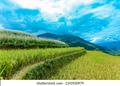 MUCANGCHAI, VIETNAM, September 29, 2018: Rice terraces in water season in Vietnam. The terraces are farmed by Hmong and White Thai ethnic minorities. The Vietnamese farmers planting on the paddy field