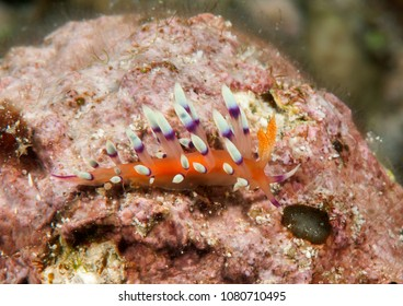 Much-desired flabellina or desirable flabellina ( Flabellina exoptata ) crawling on coral reef of Bali, Indonesia